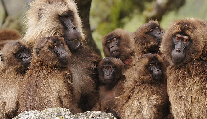 Gelada-Reproductive-Unit