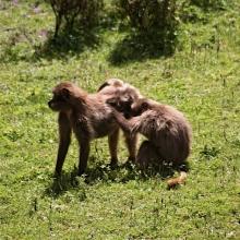 gelada trekking in ethiopia