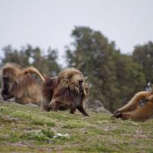 Gelad in Simein mountains trekking